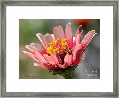 Zinnia From The Whirlygig Mix Framed Print