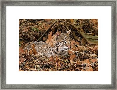 611000006 Bobcat Felis Rufus Wildlife Rescue Framed Print by Dave Welling