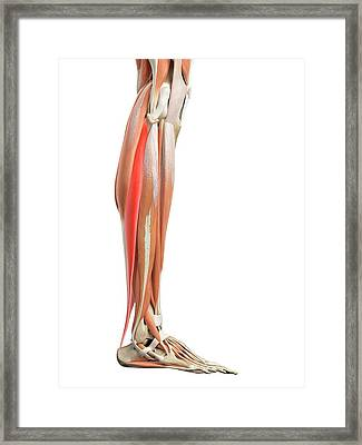 Leg Muscles Framed Print by Sebastian Kaulitzki/science Photo Library