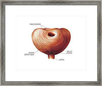 Male Genital System Framed Print by Asklepios Medical Atlas