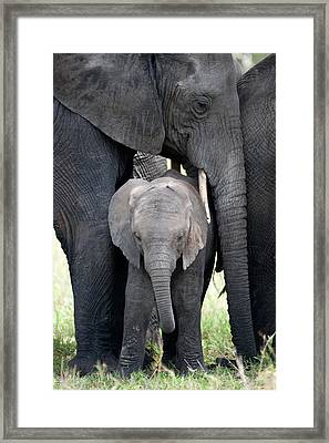 African Elephant Loxodonta Africana Framed Print by Panoramic Images