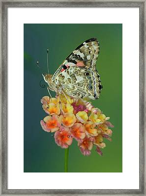 American Painted Lady Butterfly Framed Print by Darrell Gulin