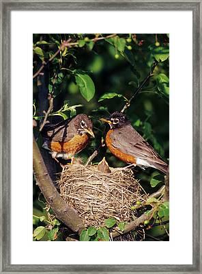 American Robin (turdus Migratorius Framed Print