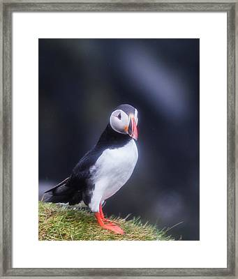 Atlantic Puffin Fratercula Arctica Framed Print by Panoramic Images