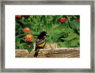 Baltimore Oriole (icterus Galbula Framed Print by Richard and Susan Day