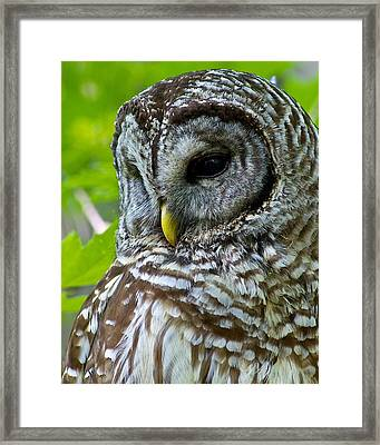 Barred Owl Framed Print by Dan Ferrin