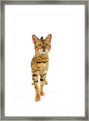 Bengal Brown Spotted Tabby Framed Print by Gerard Lacz