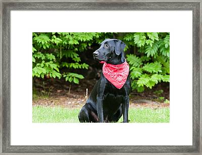 Black Labrador Retriever Framed Print by William H. Mullins
