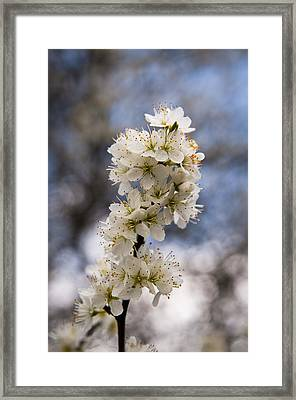 Blackthorn Blossom Framed Print