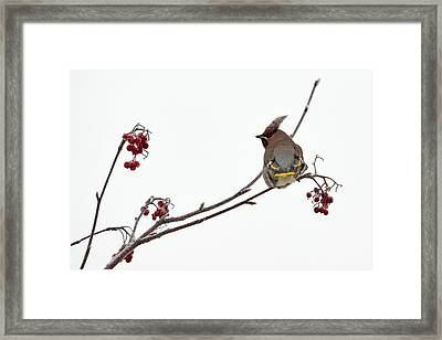Bohemian Waxwings Eating Rowan Berries Framed Print by Jouko Lehto