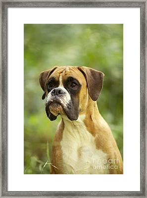Boxer Dog Framed Print by Jean-Michel Labat