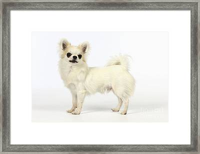 Chihuahua Dog Framed Print by John Daniels