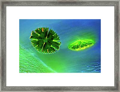 Desmids And Sphagnum Moss Framed Print by Marek Mis