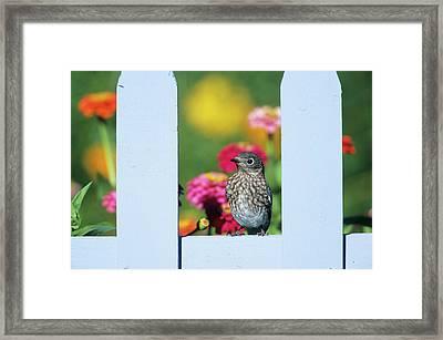 Eastern Bluebird (sialia Sialis Framed Print