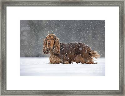 English Cocker Spaniel Framed Print by Johan De Meester