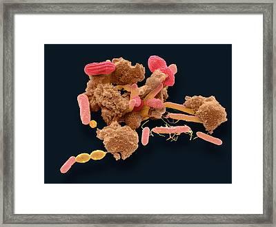 Faecal Bacteria Framed Print by Steve Gschmeissner