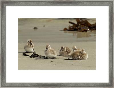 Falkland Islands, Carcass Island Framed Print by Jaynes Gallery