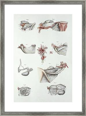 Female Reproductive System Framed Print