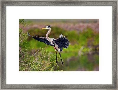 Florida, Venice, Great Blue Heron Framed Print by Bernard Friel