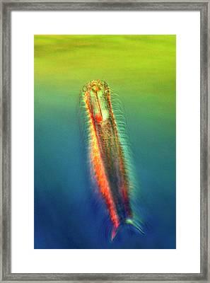 Gastrotrich Framed Print by Marek Mis