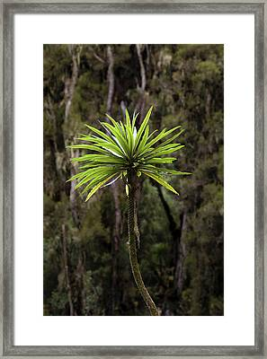 Giant Lobelia (lobelia Lanuriensis Framed Print