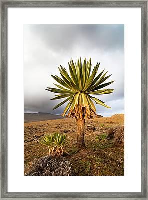 Giant Loebelia (lobelia Rhynchopetalum Framed Print by Martin Zwick