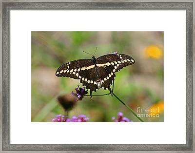 Giant Swallowtail Butterfly Framed Print by Karen Adams