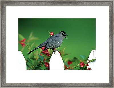 Gray Catbird (dumetella Carolinensis Framed Print by Richard and Susan Day