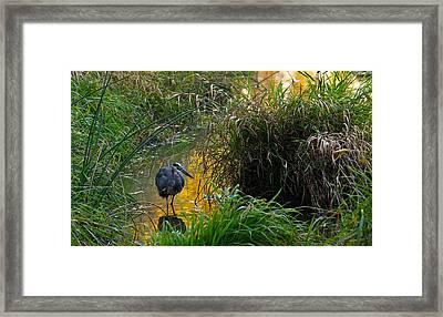 Great Blue Heron Framed Print by Dan Ferrin
