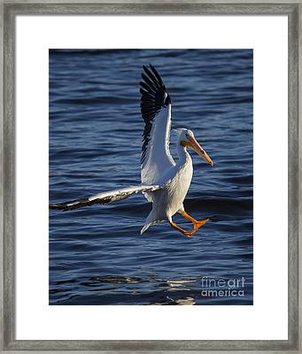 Great White Pelican On The Water Framed Print