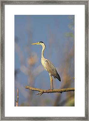 Grey Heron (ardea Cinera Framed Print