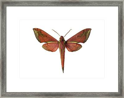 Hawk Moth Framed Print by F. Martinez Clavel