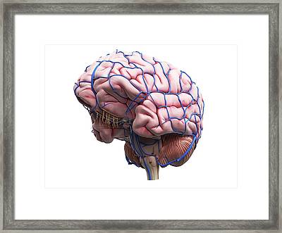 Human Brain Framed Print by Sciepro
