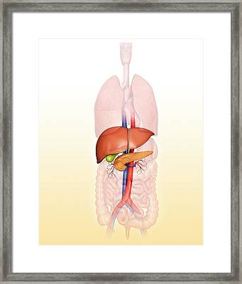 Human Internal Organs Framed Print
