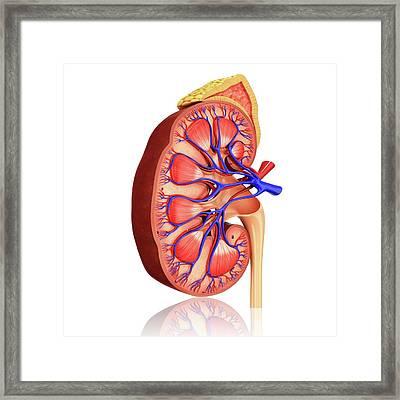 Human Kidney Framed Print by Pixologicstudio