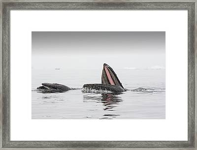 Humpback Whales Feeding On Krill Framed Print
