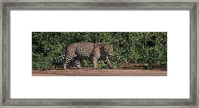 Jaguar Panthera Onca Walking Framed Print by Panoramic Images