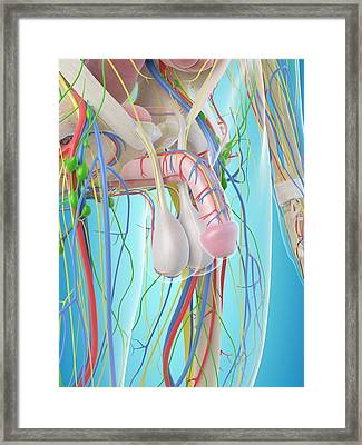 Male Penis Anatomy Framed Print by Sciepro