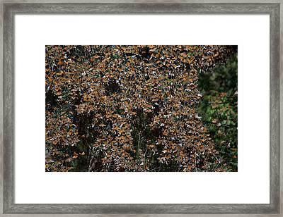 Monarch Butterflies Framed Print