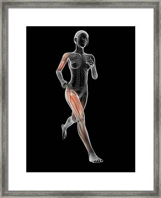 Muscular System Of A Runner Framed Print