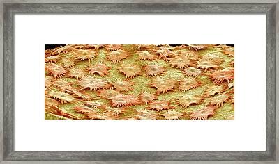 Oleaster Leaf Trichomes Framed Print by Susumu Nishinaga