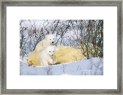 Polar Bear With Cubs Framed Print
