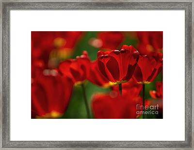 Red And Yellow Tulips Framed Print by Nailia Schwarz