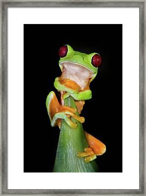 Red-eyed Tree Frog Agalychnis Framed Print