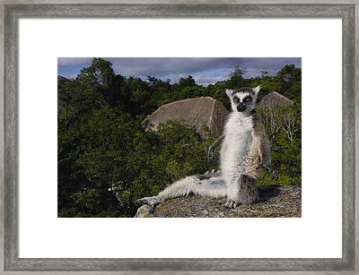 Ring-tailed Lemur Madagascar Framed Print by Pete Oxford