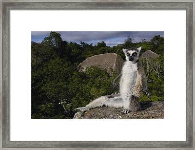 Ring-tailed Lemur Madagascar Framed Print