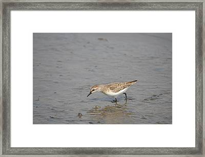 Framed Print featuring the photograph Semipalmated Sandpiper by James Petersen