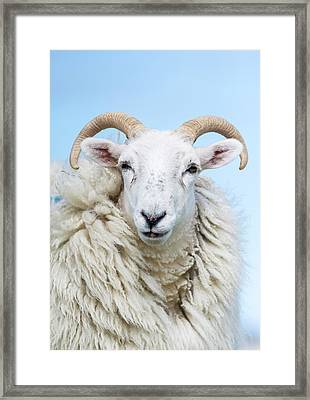 Sheep (cheviot) On The Isle Of Harris Framed Print