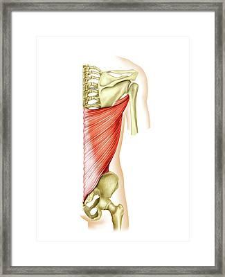 Shoulder Muscles Framed Print by Asklepios Medical Atlas