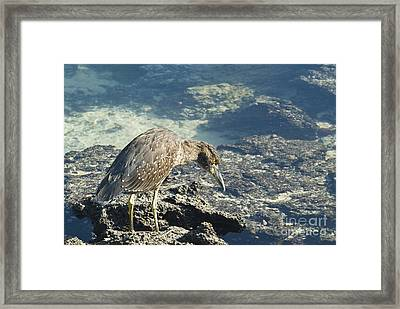 Striated Heron Framed Print by William H. Mullins